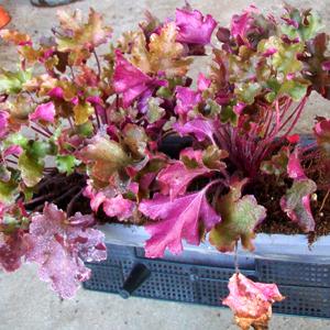puzzle-piante-heuchera-marmalade_02-05-06