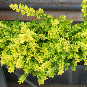puzzle-piante-lonicera-nitida-deam_02-05-05